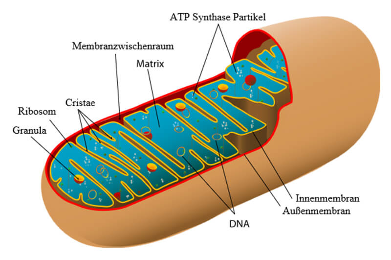 Mitochondriale_Medizin_Heilpraxis_Ralf_Giere