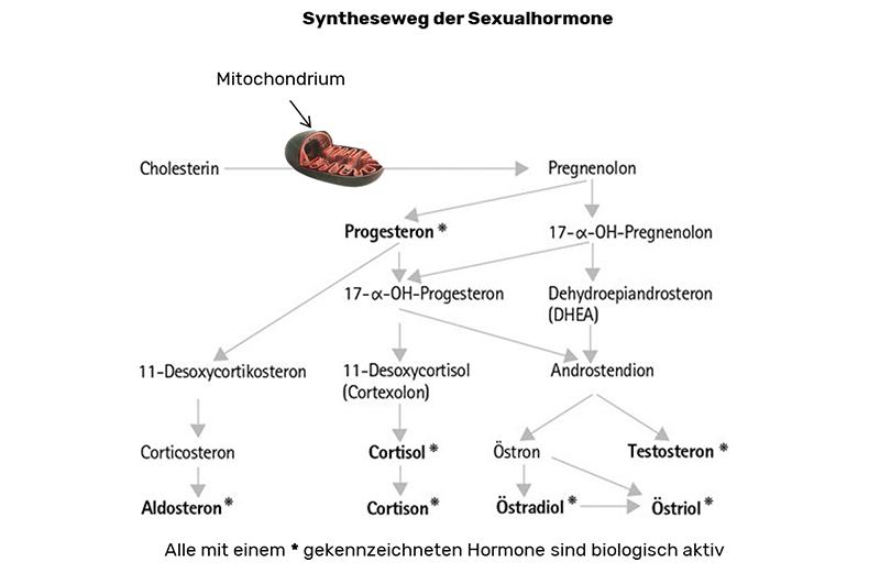 heilpraxis_ralf_giere_syntheseweg_der_sexualhormone